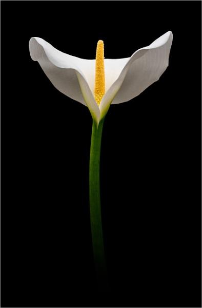 Arum Lily by flowerpower59