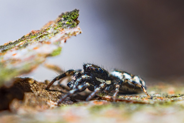Jumping spider in hiding place by aldasack1957
