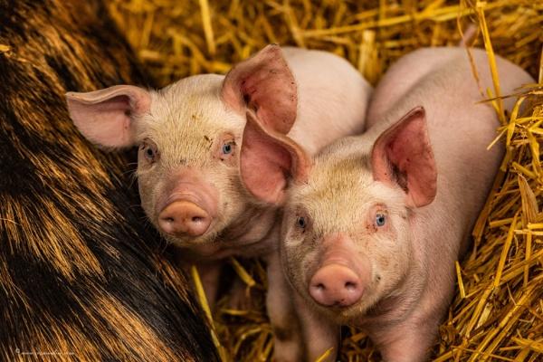 Piglets by cozmic