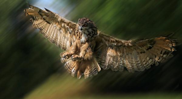 Eagle Owl Landing by CeriDJones