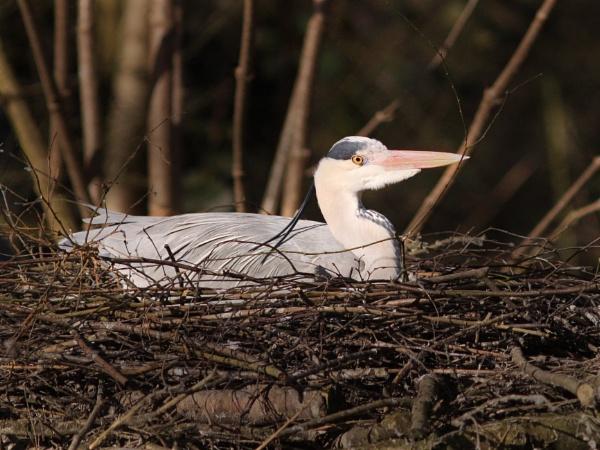 Nesting Heron by bobpaige1