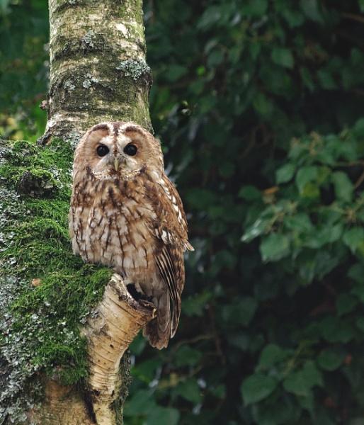 Tawny owl by Stuarty