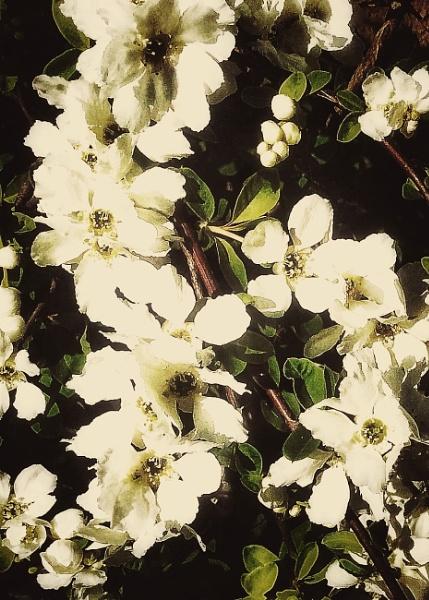 The Elegant Beauty of Viburnum carlesii by Monochrome2004