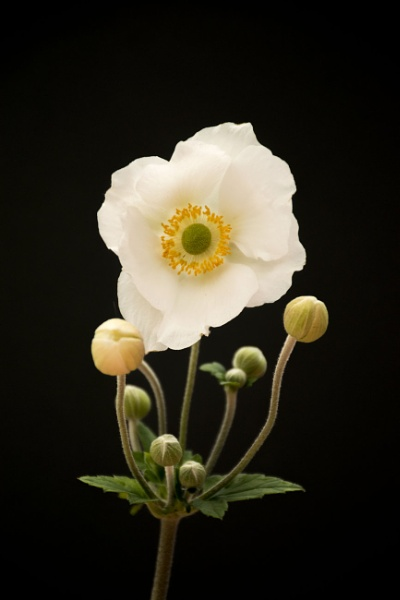 Japanese Anemone by Roverer