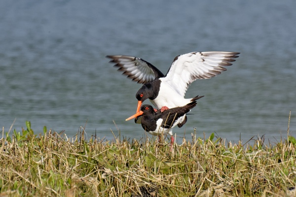 Oystercatcher egg production! by simmo73