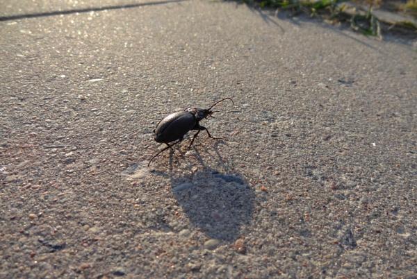 Damaged beetle on the path by SauliusR