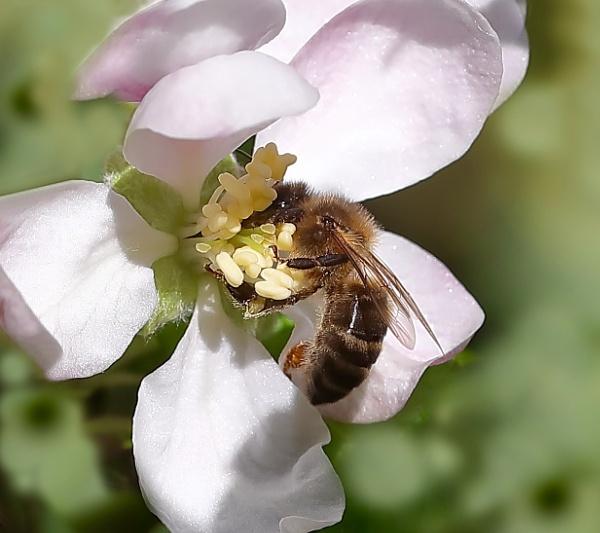 Gathering nectar by Juanita