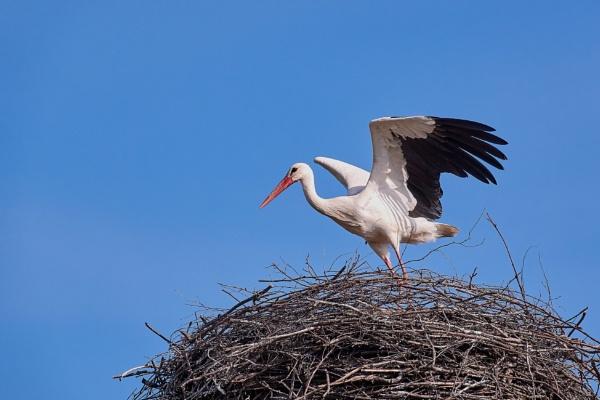 White stork (lit. Baltasis gandras) by LotaLota