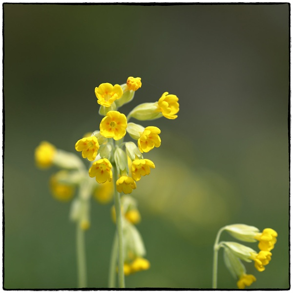 Cowslip - Primula veris by traveller47