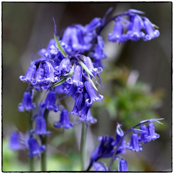 Bluebells (Hyacinthoides non-scripta) by traveller47