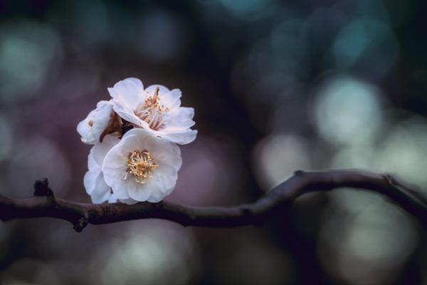 Spring Blossom (II)