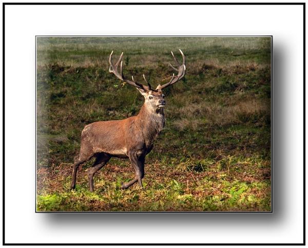 Red Deer by dven