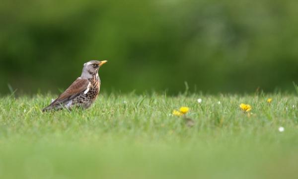 Fieldfare in meadow by rawshooter
