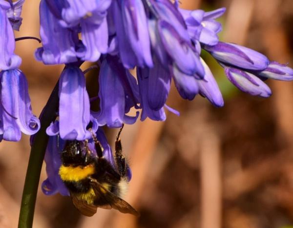 Bumblebee by BertM