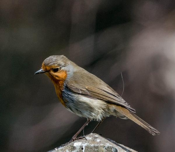 my old mate robin by madbob