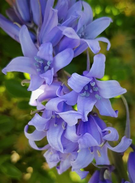 Bluebell flowers by rosej