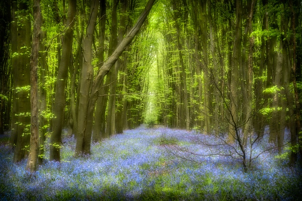 The Bluebell Wood by barrywebb