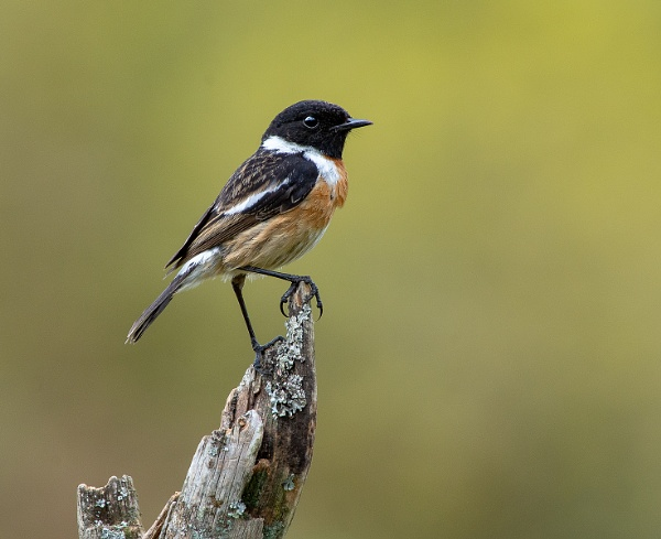 Stonechat - Saxicola torquata by Mike_Young