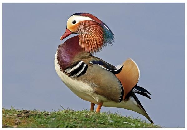 Mandarin Duck by crapsnap