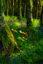 Light at the edge of the Bluebell Wood