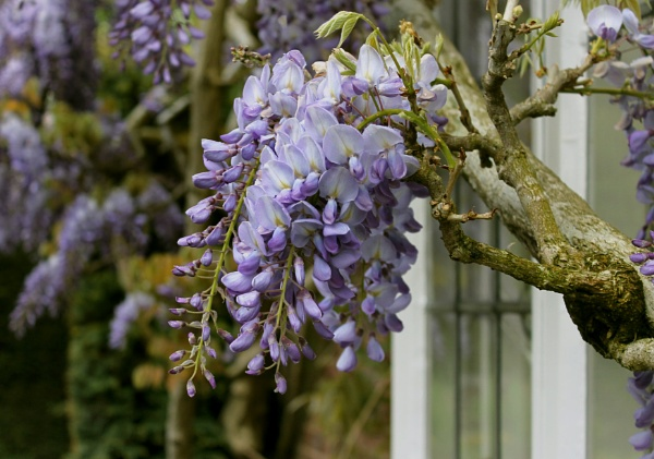 Wisteria at Winterbourne by helenlinda