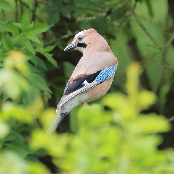 jay by colin beeley