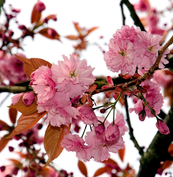 Pink Blossom by babajoshua