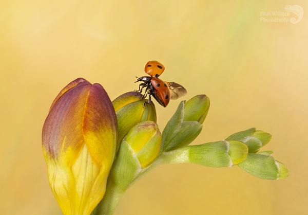 Ladybird on Freesia by Angi_Wallace