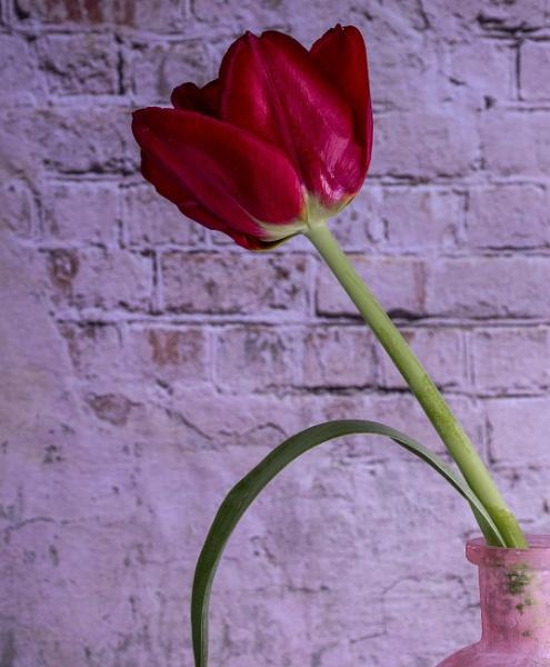 Tulip by KazG