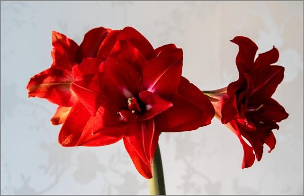 Amaryllis hippeastrum by rambler