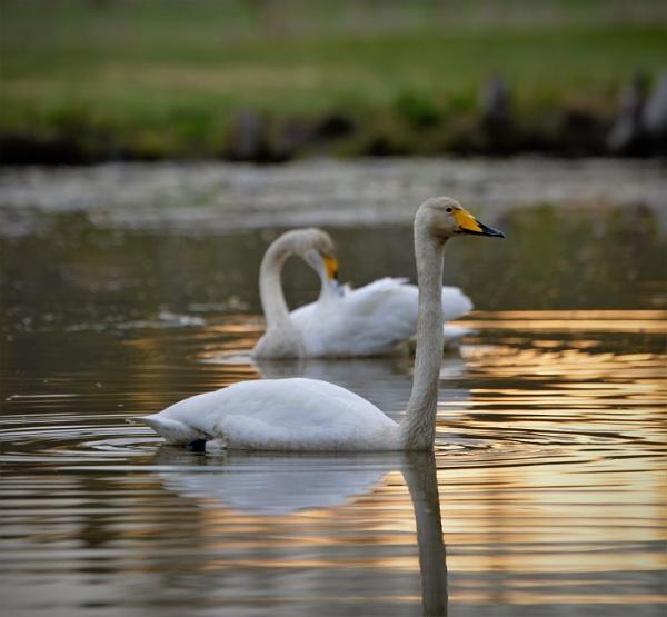 early morning wild swans by maratsuikka