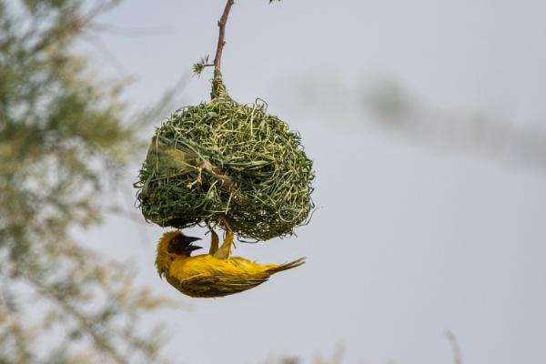 Ruppell\'s Weaver building a nest by WorldInFocus