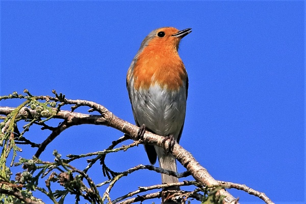 Mr Robin is back whistling for a mate. by mike9005