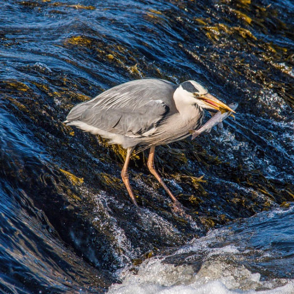 Grey Heron by icphoto