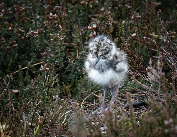 Lapwing Chick by jasonrwl