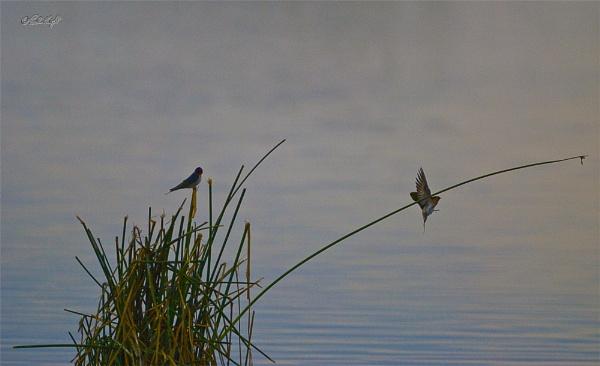 Swallows on Lake Horowhenua (0229) by paulknight