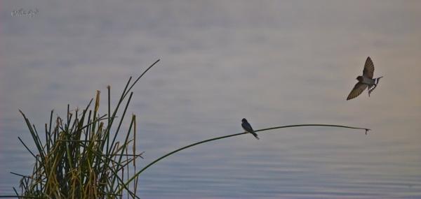 Swallows on Lake Horowhenua (0226 v2) by paulknight