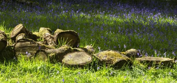Finlaystone - Bluebells by Irishkate