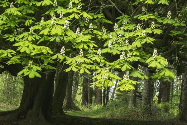 The Chestnut Tree - Finlaystone by Irishkate