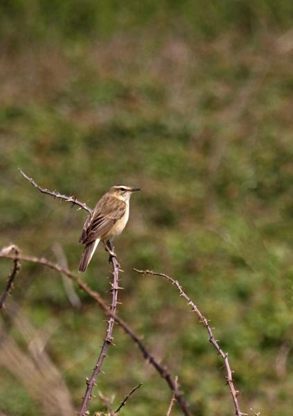 Sedge Warbler by JuBarney