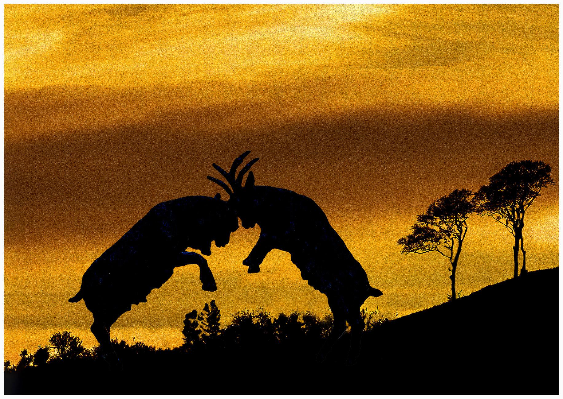 Battling Goats