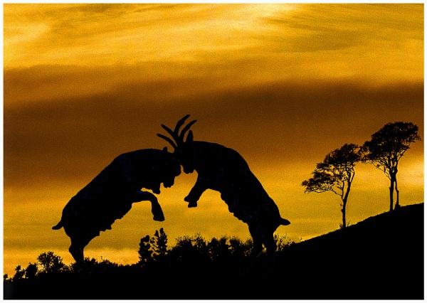 Battling Goats by mac