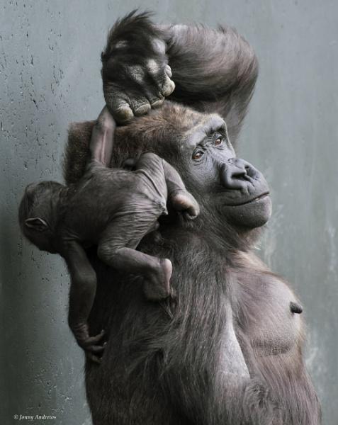 Gorilla and Baby at Dublin Zoo