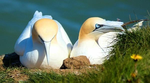 Gannets at Bempton Cliffs RSPB by antheap