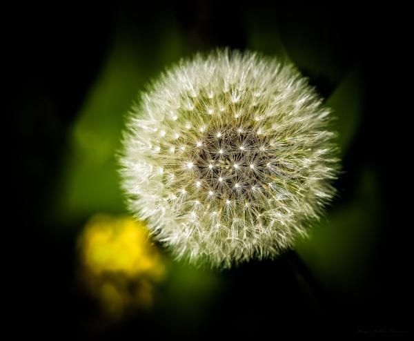 Dandelion. by kuvailija