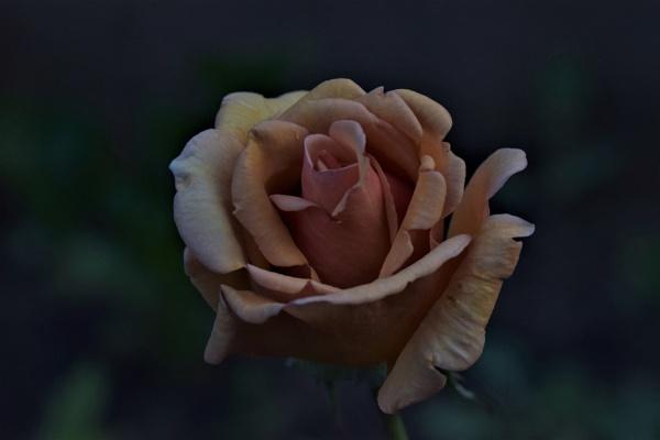 Full Bloom. by macromal