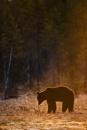 European Brown Bear. by proberts