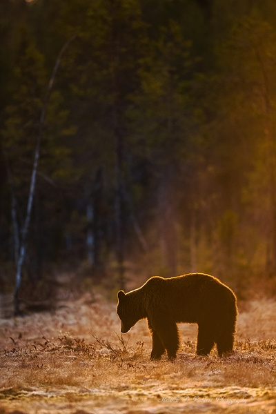 European Brown Bear. by proberts