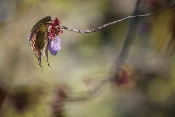 Cherry Leaf by manicam