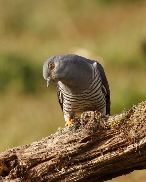 Cuckoo by ali63
